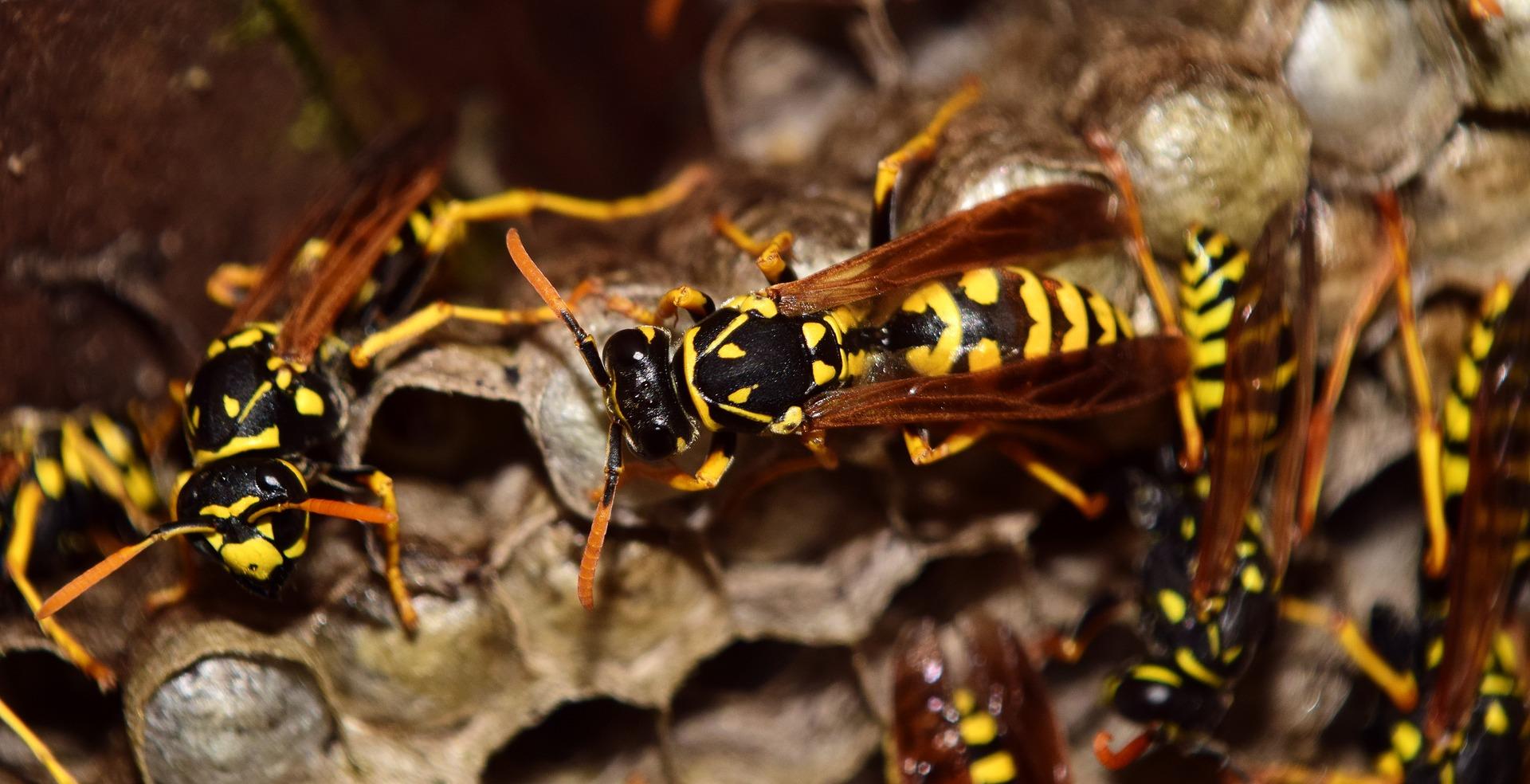 Destruction de nids d'hyménoptères
